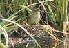Juvenile Saltmarsh Sparrow