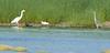 Cormorant in water and Snowy Egert on shore between herons