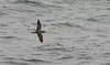 Cory's Shearwater <i>(Mike LaBossiere)</i>