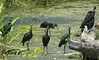 Glossy Ibis -- Atlas Tack