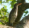 One of several Green Herons at Mill Road