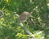 Black-crowned Night Heron -- Atlas Tack