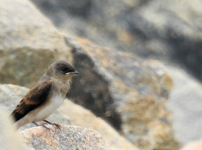 Baby Northern Rough-winged Swallow