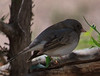 Dark Eyed Junco (b1152)