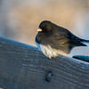 The little Junco didn't seem to mind that it was -10 degrees!