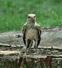 Juvenile mockingbird--Riverside Cemetery