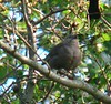 One of four adult Cowbirds observing.