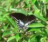 Spicebush Swallowtail at Long Road