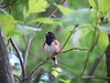 Eastern Towhee.....very confiding.  June 11.  Railroad bed just across Brandt Island Road.