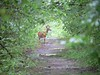 Deer on the railroad bed between Brandt Island Road and Mattapoisett Neck. June 10