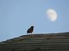 Robin baying at the moon