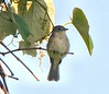 Willow Flycatcher (recognized the song) on the Bike Path