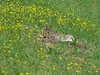 Drowsy bunny stretched out in the buttercups