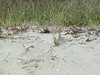 Find the baby Plover