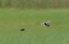 Red-winged Blackbird chasing Willet...it chased everything, including me