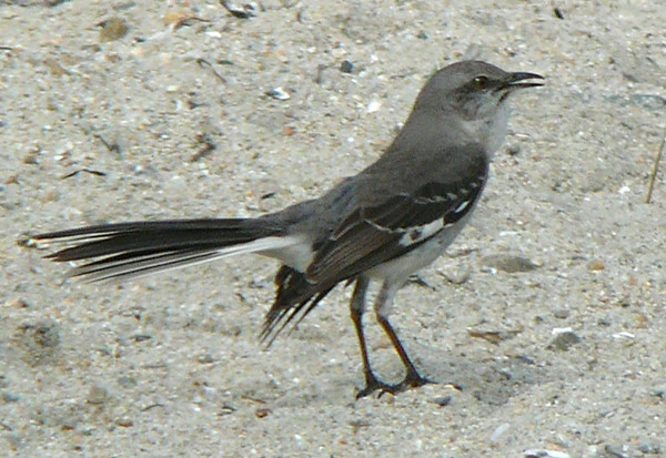 Enthusiastic Mockingbird.  Sang the whole 2 hours I was there.  Did a Willow Flycatcher, Killdeer, Cardinal, Robin, Blue Jay, House Sparrow, Carolina Wren, Flicker, Towhee and many others.  Another bird showed up to do some of the same impressions plus an excellent Yellowlegs.