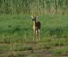 Deer at Egypt