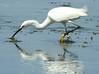 Snowy Egret at Winsegansett