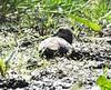 Mud-bathing Mourning Dove