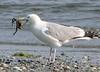 Hacker St.<br /> July 12<br /> Crabby Gull