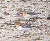 West Island<br /> July 15<br /> Sanderlings