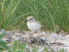 West Island<br /> July 15<br /> Baby Piping Plover<br /> (still 3 left!)