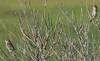 Hacker St.<br /> July 12<br /> Saltmarsh<br /> Sharp-tailed<br /> Sparrows