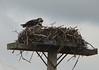 Kising Ospreys
