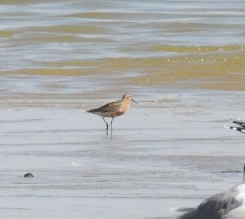 Curlew Sandpiper - Jackson Lake SWA - Morgan Co - Colorado - 8/30/13