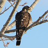 Merlin - 2/17/15 - Home, Golden, CO  Yard bird #131<br /> Chased away the Rosy-Finches