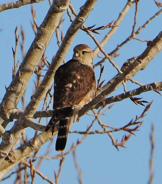Merlin - 2/17/15 Home - Golden, CO<br /> Yard bird #131