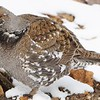 Dusky Grouse - Jeffco - 3-25-15 - Lookout Mt. Nature Center - Golden, CO.  Later killed by a car.