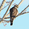 Merlin - 2/17/15 - Home, Golden, CO.  Yard bird #131<br /> Chased away the Rosy-Finches