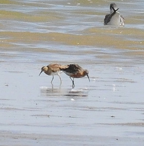 Curlew Sandpiper and Pectoral Sandpiper - Jackson Lake SWA - Morgan Co, Colorado - 8/30/13