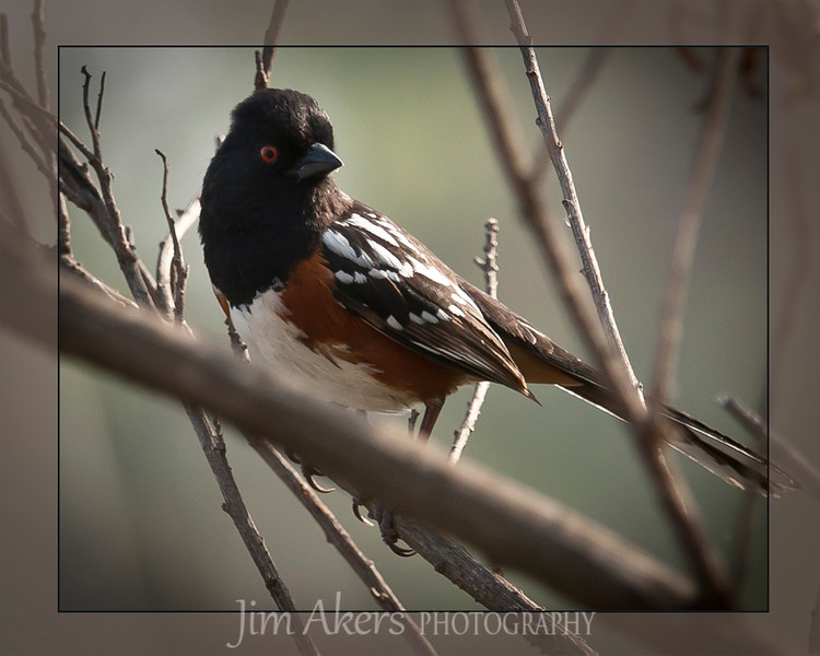 Spotted Towhee- Sepulveda Basin, Sherman Oaks, CA- Quick finger on the shutter.  This colorful bird does not stay still for long.