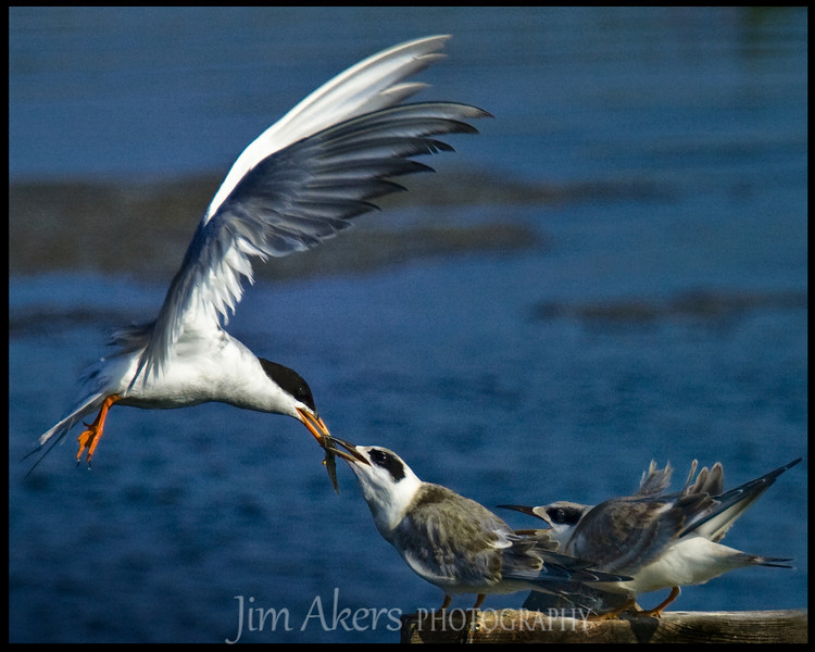 The ultimate pass off of food to a young tern.  The parent spends much of the day feeding the young ones.  Bolsa Chica State Park near Huntington Beach, CA