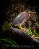 Green Heron- Los Angeles Arboretum