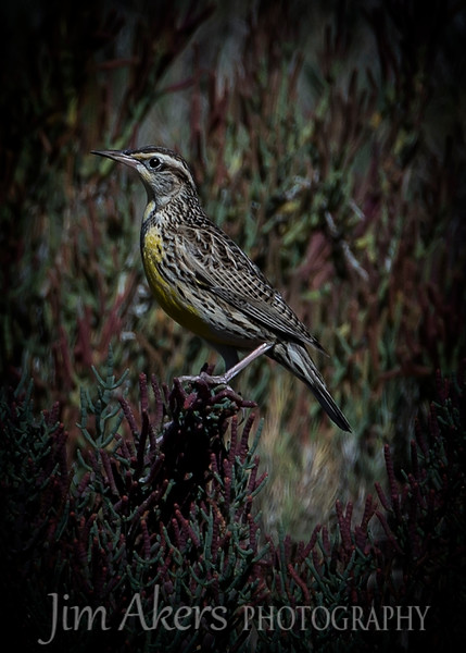 """Western Meadowlark""  Bolsa Chica State Park- colorful bird hard to get near and they won't sit for long."