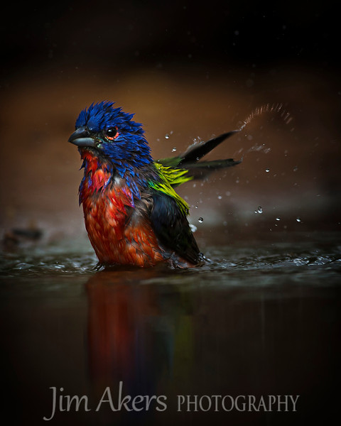 """Splish Splash"" this male Painted Bunting was having a great time dunking in the water."