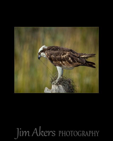 Osprey in nesting mode