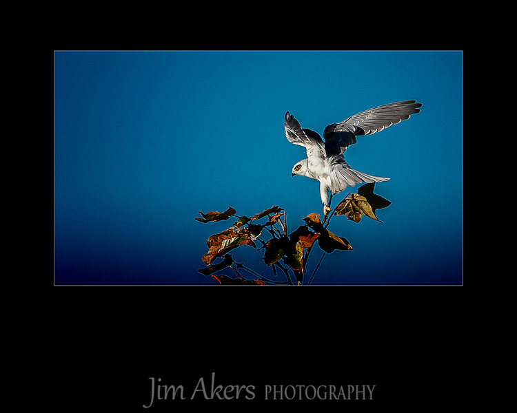 """Balancing Act"" for this white tailed kite.  Shot in Malibu near Malibu Lagoon September 2012."
