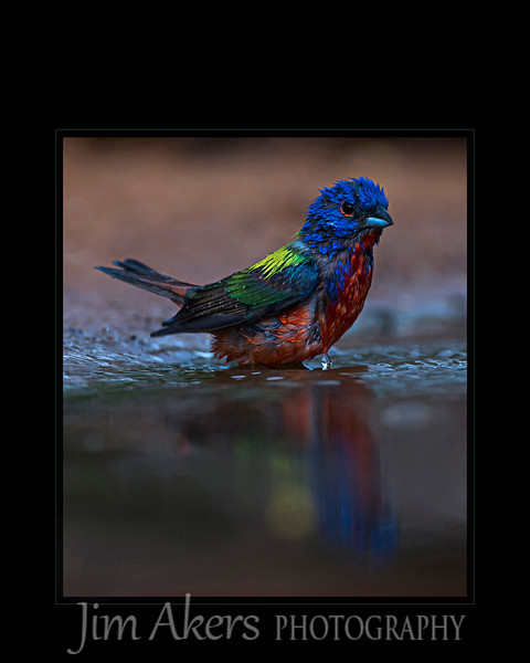 """Rainbow Antics"" Painted Buntings seem to love playing in water.  It helps keep them cool and cleaner.  I watched them dunk themselves almost fully in the shallow water."