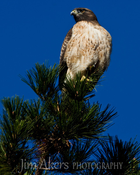 Red-tail hawk; Malibu Lagoon, Malibu, California on a beautiful Sunday morning. The Hawk was being harassed by crows.  He seemed not to care and was perched on the very top of a pine. I was maybe 30-40 feet away on the ground.