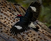 Acorn Woodpecker- found on the West Coast but not the East Coast. Very industrious woodpecker. As you can see they like to put akorns in the trunks of trees as well as the bark. They make a very distinct call that when you hear it you know they are around.