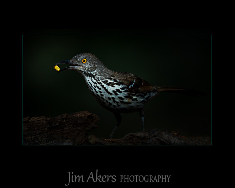"""""""Finders Keepers"""" This Long Billed Thrasher is always on the move.  The thrasher has a kernel of corn in its beak."""