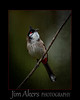 Red Whiskered Bulbul- a native of India: Curious and real chatter boxes. I found a group of them at the LA Arboretum in Arcadia, CA.