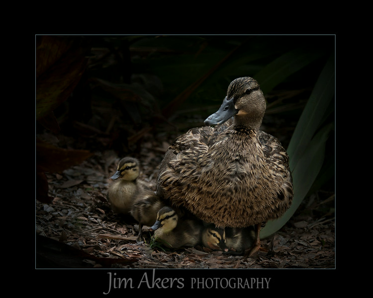 """Mommy Time""  recently took Best of Class in Nature plus a merit with a score of 85 at a Professional Photographers of Los County competition.  With slight improvement it could go higher.  This mother had 8 ducklings under her at one time. How they knew to go under her and breath I don't know.  Within two weeks she had only 2<br />  ducklings left. This photograph also took 1st place in the Animal category in the fall Santa Clarita Valley Photography Association."