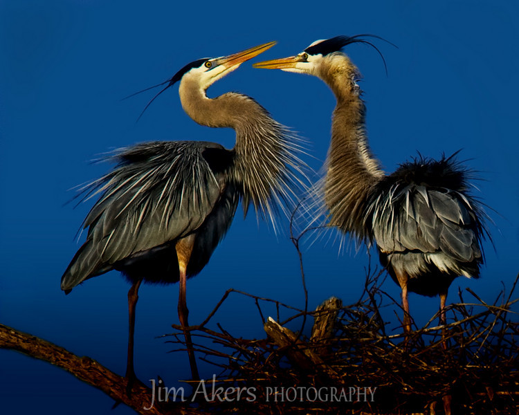 Puffed feathers are part of the mating ritual for these two Great Blue Herons.  Twig picking for the male is another skill the male must perform to the females satisfaction.  Good twig- You had me at how's my twig.  Third Place in Santa Clarita Valley Photo Organization  2010 Open Compitition.  Missed second place by .34 pts. In 2011 this next was blown away in a storm. As of 11/2012 it is still not back.