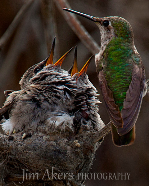 Baby Hummingbirds being fed by their parent.  Bolsa Chica State Park in Huntington Beach, CA