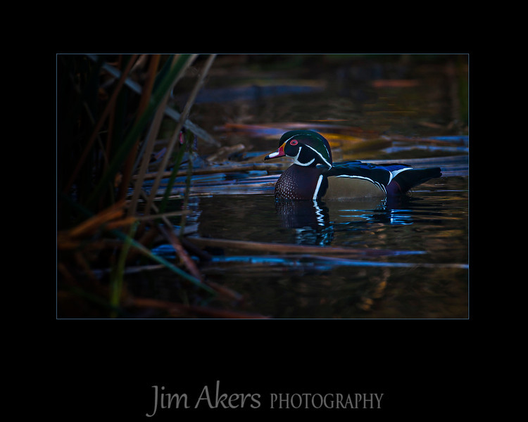 """A Good Place to Hide""  Wood Duck- Sepulveda Basin early morning.  Lucky Shot.  This beauty is not always around."